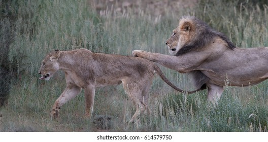 Mating pair of Panthera leo vernayi, Kalahari lion, in rainy, early morning. Black mane male  goes behind female, tries to hold the female by his paw on hers back. Funny situation. Kgalagadi park.