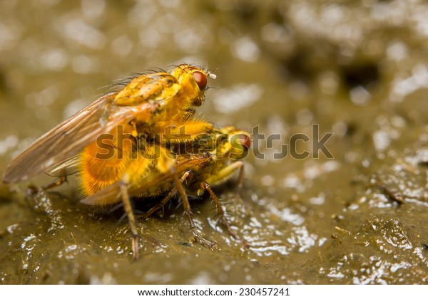 Mating of a pair of yellow dung flies (Scathophaga stercoraria)