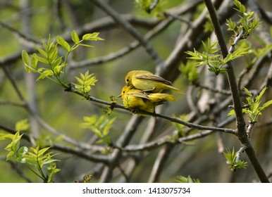 Mating pair of Yellow Warblers