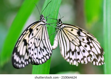 Mating Paper Kite Butterflies at the Butterfly House in Saint Louis, Missouri