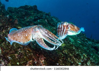 Mating Pharaoh Cuttlefish on a dark tropical coral reef in Myanmar