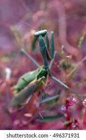 Mating praying mantises, male with head bitten off