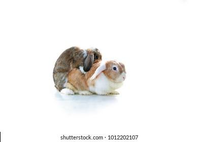 Mating rabbit.  Mini Lop Eared rabbits mating on white background. Animal pet mammal bunny dutch widder dwarf breeding.