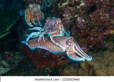 Mating ritual of beautiful Cuttlefish on a tropical coral reef at sunset
