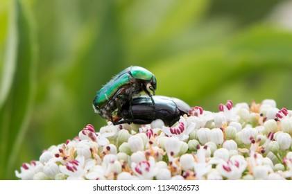 Mating rose chafer