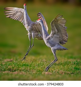 Mating sandhill cranes dance in the air