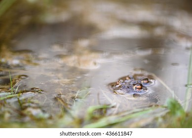 Mating season for these toads in a small pond