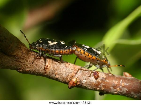 Mating shield bugs.