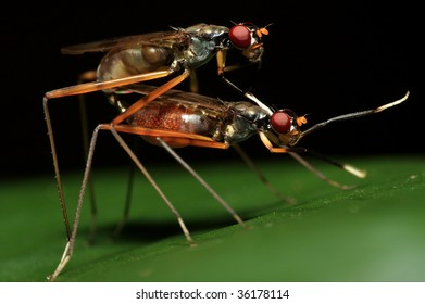 Mating shots of Stilt Legged Fly (Side View)