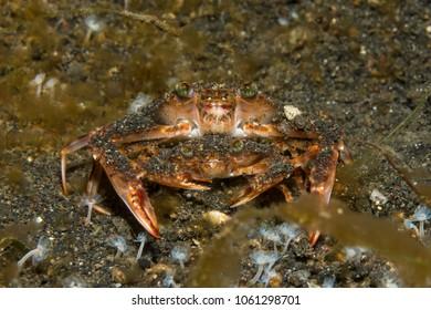Mating swimming crabs (Charybdis sp.)