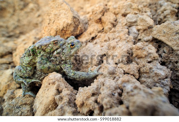 Mating toads on clay in the spring