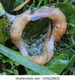 Mating of two hermaphroditic field slugs (grey field or milky slug, Deroceras agreste) on green grass, clams are linked in the form of a ring. Pests of field crops. Close-up. Macro. Soft focus effect.