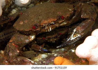 Mating velvet swimming crabs
