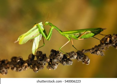 Matins eating mantis, two green insect praying mantis on flower, Mantis religiosa, action scene from Czech republic.