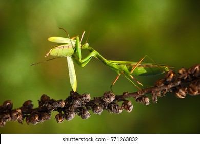 Matins eating mantis, two green insect praying mantis on flower, Mantis religiosa, action scene, Czech.