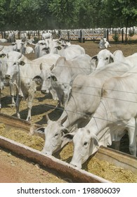 MATO GROSSO, BRAZIL - SEPTEMBER 13, 2003: A group of Nelore cattle in confinement
