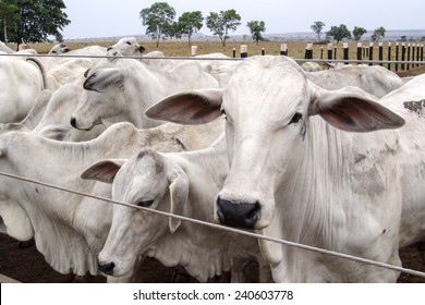 Mato Grosso, Brazil  September 30, 2004: A group of Nelore cattle herded in confinement in a cattle farm in Mato Grosso state, Brazil
