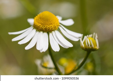 Matricaria chamomilla (also known as Water of Youth), German chamomile or wild chamomile, most commonly used to make herb infusions thought to have medicinal uses, and herbal tea.