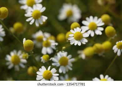Matricaria chamomilla or chamomile, camomile, kamilla, wild chamomile, scented mayweed