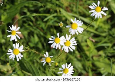 Matricaria chamomilla, commonly known as chamomile , Italian camomilla, German chamomile, Hungarian chamomile (kamilla), wild chamomile or scented mayweed, blooming in the summer season