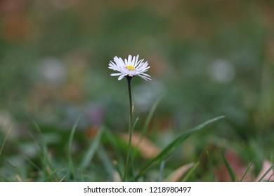 Matricaria Chamomilla L. (Matricaria Recutita, Chamomile, German Chamomile, Hungarian, Wild Chamomile or Scented Mayweed)