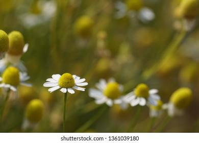 Matricaria chamomilla or scented mayweed, chamomile, kamilla, camomile