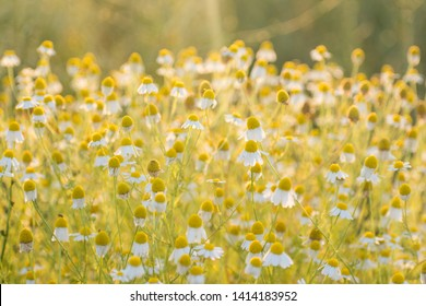 Matricaria chamomille (camomile, wild chamomile or scented mayweed) in bloom at sunlight, aromatic clusters of flowers of long stalked heads, floral background. Inspirational nature closeup background
