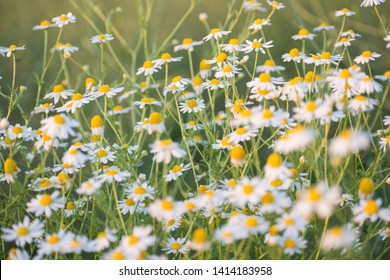 Matricaria chamomille (camomile, wild chamomile or scented mayweed) in bloom, aromatic clusters of flowers of long stalked heads, floral background. Inspirational nature closeup background