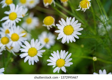 Matricaria is a genus of flowering plants in the chamomile tribe This is a generic name mayweed This is a common cause of natural health in Australia Matricaria occidentalis is native to North America