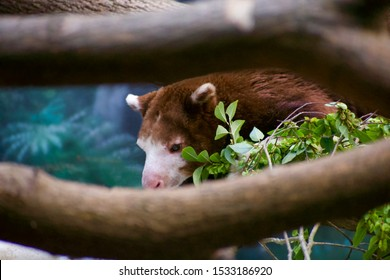 Matschie's tree kangaroo through branches