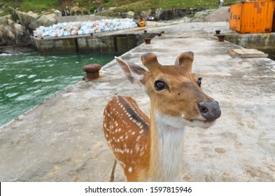 Matsu, Taiwan - JUN 27, 2019: Rehabilitation Of The Formosan Sika Deer in A Small Island - Daqiu (Deer Watching Paradise)