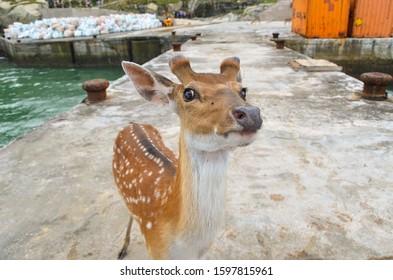Matsu, Taiwan - JUN 27, 2019: Rehabilitation Of The Formosan Sika Deer in A Small Island - Daqiu (Deer Watching Paradise)