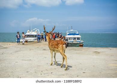 Matsu, Taiwan-September 22, 2018 : Rehabilitation Of The Formosan Sika Deer in A Small Island - Daqiu (Deer Watching Paradise)