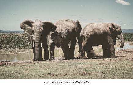 Matte vintage. Three elephants at a waterhole. Sweet memories of travel to Africa & African safari. Beautiful African landscape. Blur background for your text.