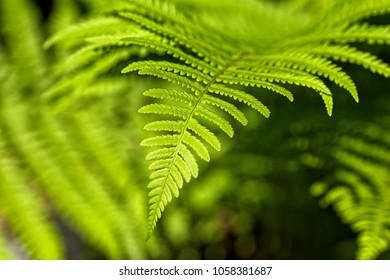 Matteuccia struthiopteris - an ostrich fern with perfect leafage hit by natural sunlight.