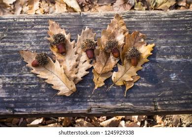 Mature acorns and fallen leaves of Turkey oak / Quercus cerris in Kosutnjak forest in Belgrade in Serbia