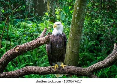 A mature adult American Bald Eagle sitting on a tree branch