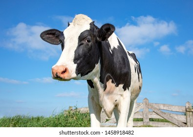 Mature, adult black and white cow, gentle look, pink nose, in front of an old wooden fence and a blue sky.