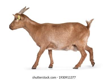 Mature adult goat, walking side ways. Isolated on white background.