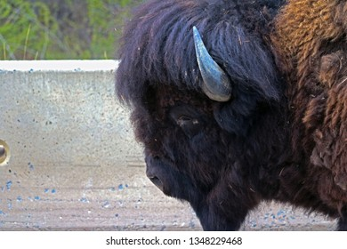 Mature Adult Male Bull Wood Bison (Bison bison athabascae) or Mountain Bison in the spring walking along the Alaska Highway in Liard River Valley in northern British Columbia, Canada