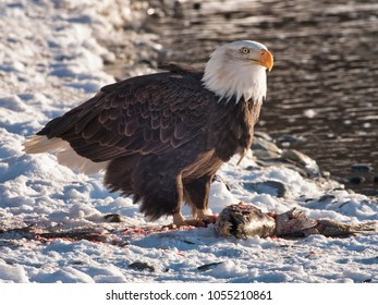 Mature Bald Eagle feeding on a salmon on the bank of the Chilkat River near Haines, Alaska in winter.