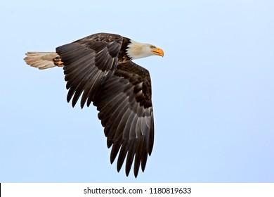 Mature Bald Eagle in flight on light blue sky.
