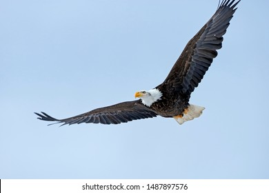 Mature Bald Eagle in flight, soaring on light blue sky, looking alert.