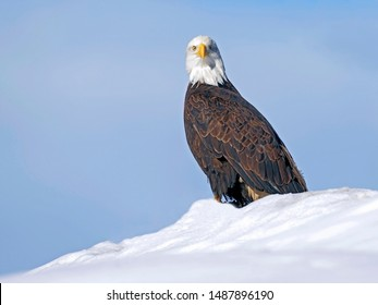 Mature Bald Eagle sitting on snow hill against light blue sky background, looking alert.