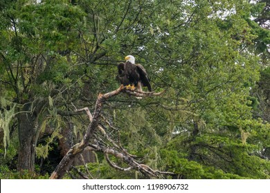 Mature bald eagle in tree on Vancouver Island, British Columbia, Canada