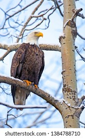Mature Bald Eagle in winter perched in Aspen tree.