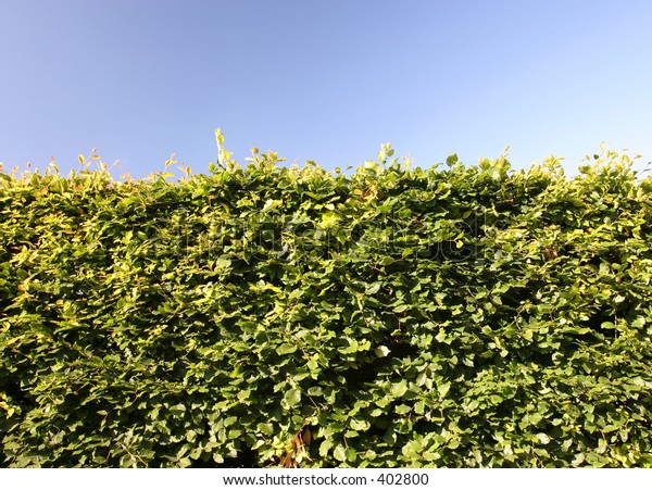Mature beech hedge photographed in late afternoon sunlight