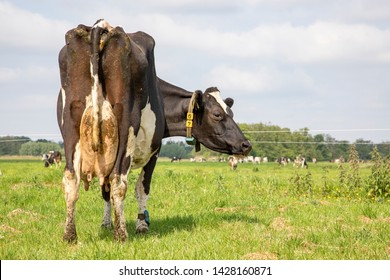 Mature black and white cow with stretched udder, dirty, seen on the butt, turns her head backwards, in the distance herd of cows.