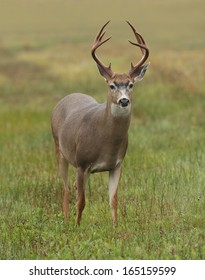 A mature black-tailed buck stands alert in an open meadow