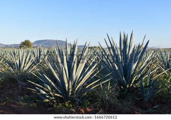 Mature Blue tequilana weber agave plants champ, été soleil belle journée